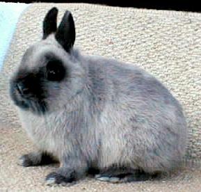 dee s netherland dwarf bunnies   home